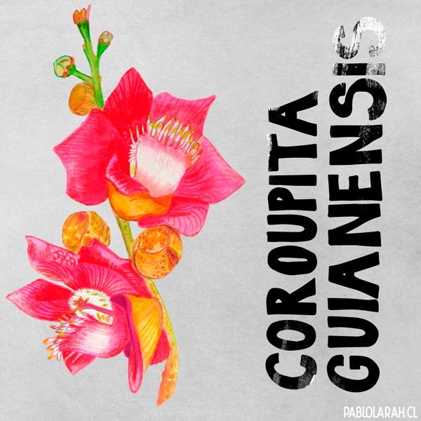 Illustration, Canonball tree flower, Pablo Lara H,Abricó de Macaco flor