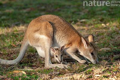 Canguro ágil (Macropus agilis)