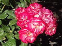 Tropical Delight rose - Wellington Botanic Garden, New Zealand