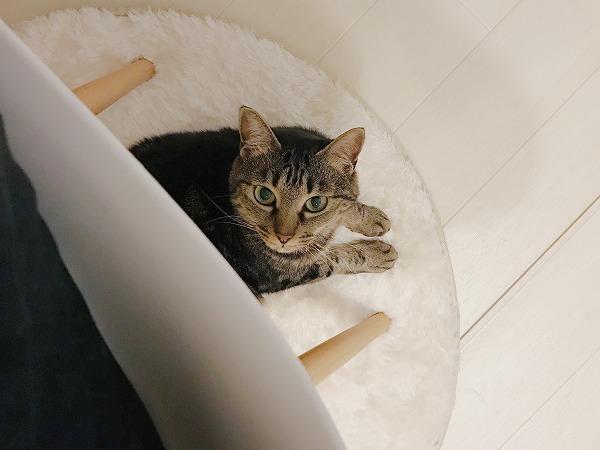 椅子の下からこちらを見上げているキジトラ猫