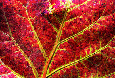 Close up of autumn red and yellow seagrape leaf.