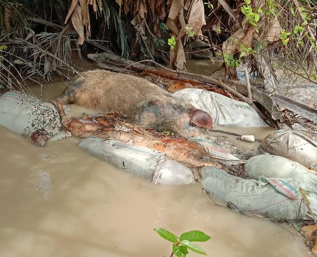Bangkai Babi  Dibuang ke Sungai