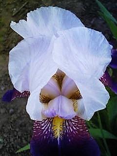 艶めかしく花開いたアイリス