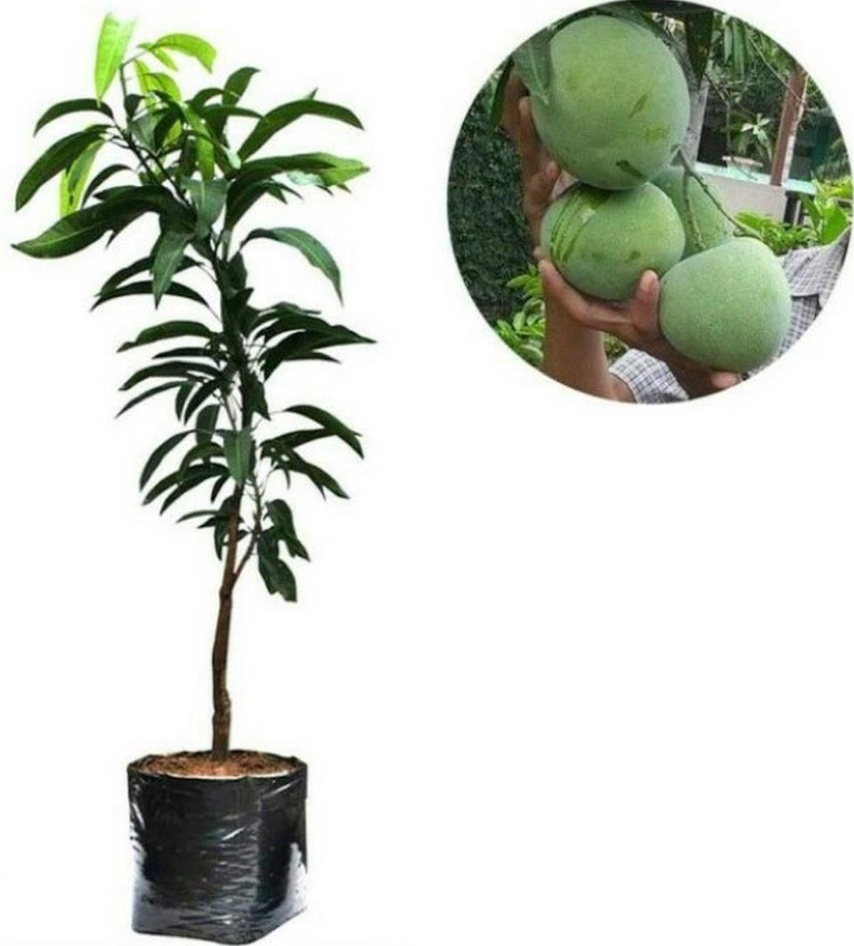 bibit mangga kelapa Palopo