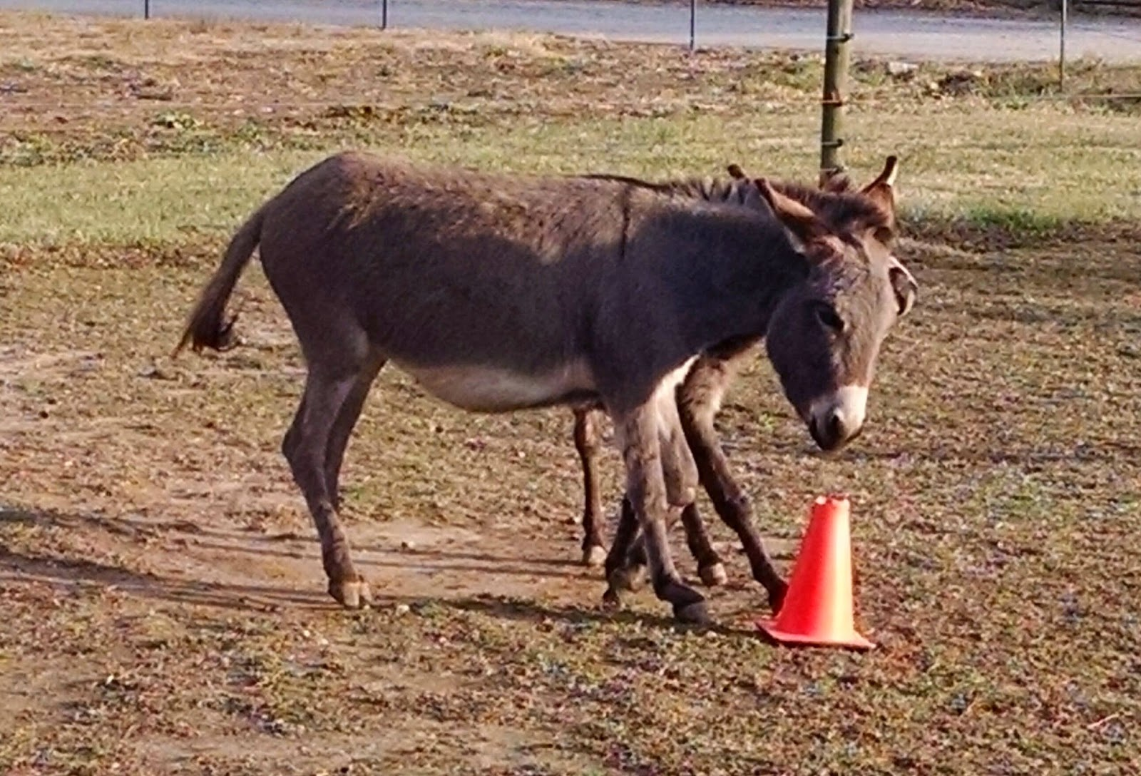 two miniature donkeys running around traffic cones