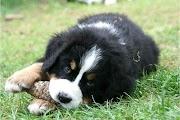 Comment prévenir l'agressivité chez le chien berger australien?