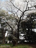 More sakura (blooming cherry trees) - Ueno Park, Tokyo, Japan