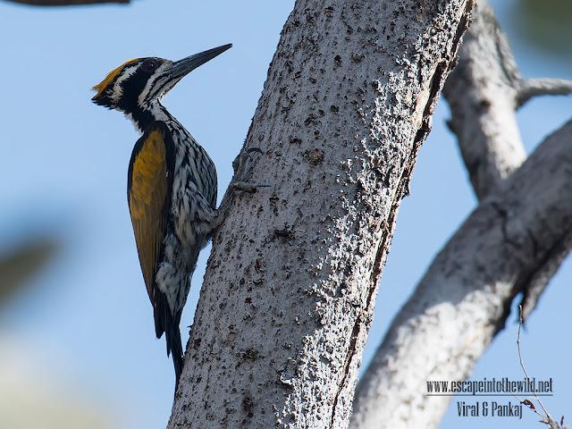 Black-shouldered Woodpecker