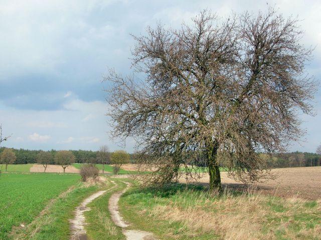drzewa przy polnych drogach