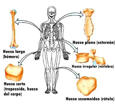 Tipos de huesos esqueleto anatomía