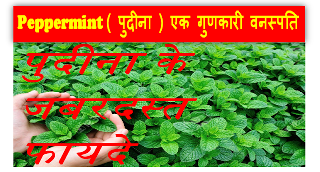 Peppermint ( पुदीना ) एक गुणकारी वनस्पति - Peppermint is a potent vegetable