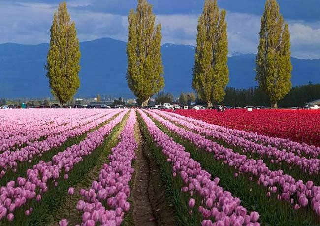 Photo Collection From Tulip Fields Best Wallpaper Views