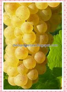 Tips Sukses Tanaman Anggur Dengan Pot Berbuah Leba