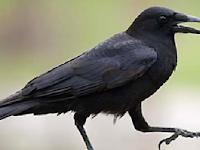 Menyeramkan! Mitos Mendengar Suara Burung Gagak Pertanda Kematian