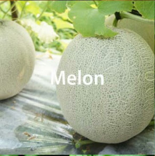 Teknis Budidaya Melon