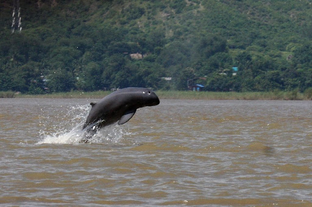 Myanmar's 'smiling' Irrawaddy dolphins on brink of extinction