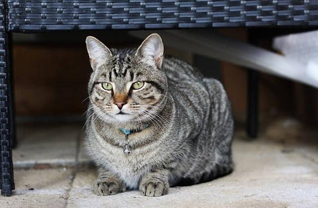 ras kucing di indonesia