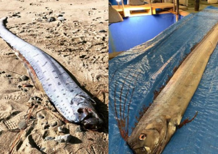 oarfish, japan, earthquake, tsunami
