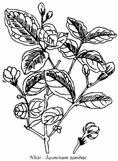 Hình vẽ CÂY HOA NHÀI - Jasminum sambac - Nguyên liệu làm Thuốc Ngủ, An Thần, Trấn Kinh
