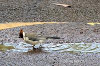 Red-crested Cardinal juvenile ready for a bath – Oahu, Aiea Trail – © Denise Motard
