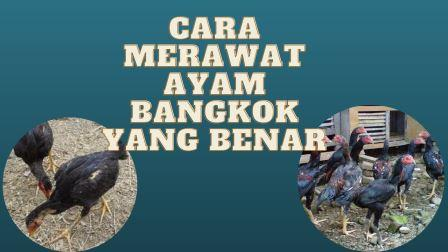 Cara Merawat Ayam Bangkok Umur 2, 4, 6 sampai 9 Bulan