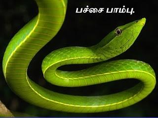 பச்சைப்பாம்பு - Common Green Vine Snake.