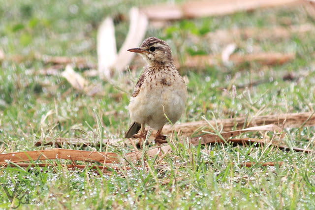 Paddyfield Pipit with some disease in the legs