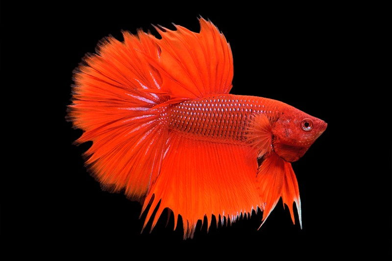 Image The Demise of Where to Buy Betta Fish