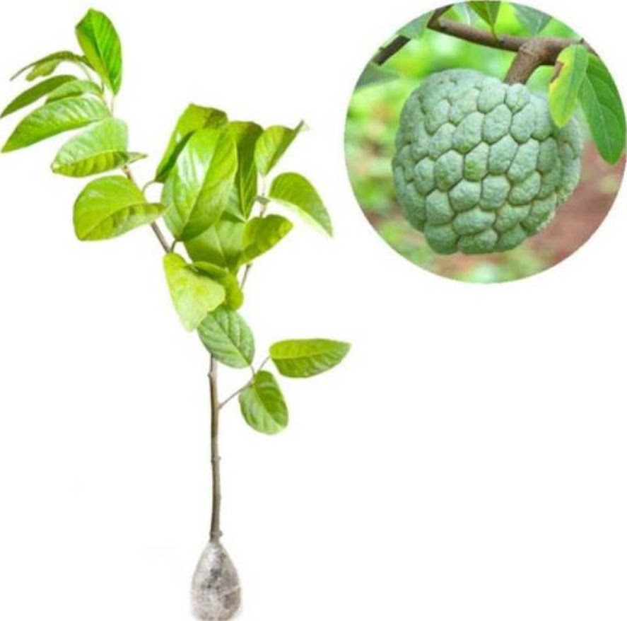 bibit tanaman srikaya jumbo Jawa Tengah