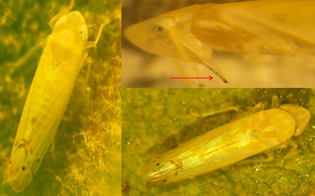 A composite of three images of leafhopper insects