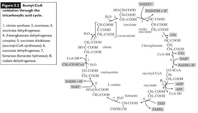 enzim siklus krebs