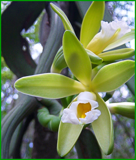 Vanilla chamissonis, commonly known as the Chamisso's vanilla, is a species of orchid.The orchid is native to South America, from French Guyana through Brazil to northeastern Argentina. The species name honors Adelbert von Chamisso.