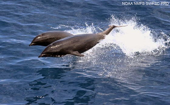 Northern Right Whale Dolphin | Fun Animals Wiki, Videos ...