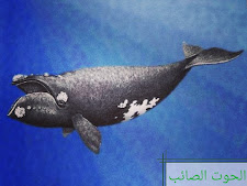 حيوانات مهددة بالإنقراض ، الحوت الصائب