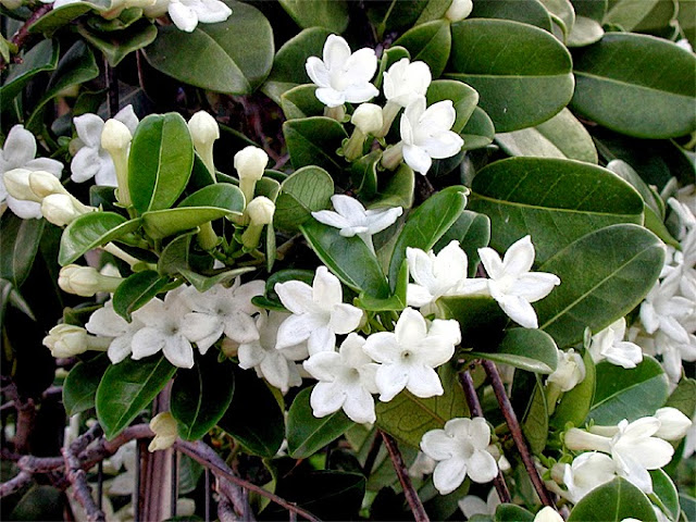 Madagascar jasmine n bloom
