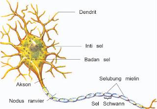 Gambar bagian-bagian sel saraf