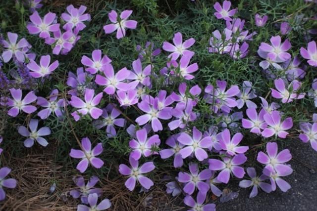 Small Purple Wildflowers