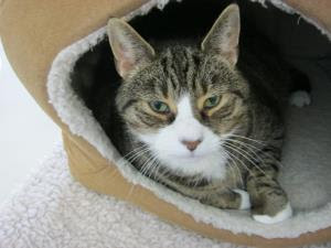 tabby-and-white cat sitting inside cat bed