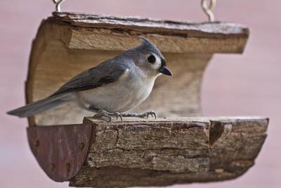 Photo of Tufted Titmouse on bird feeder