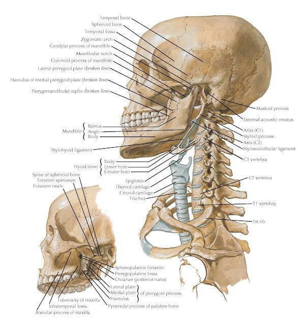BONY FRAMEWORK OF THE HEAD AND NECK