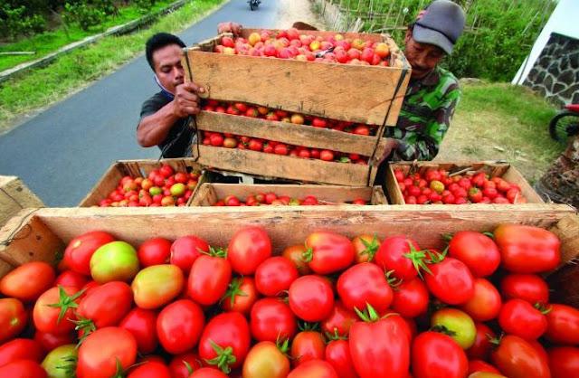 gambar panen tomat