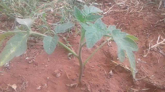 زراعة الطماطم فى المنزل بالبذور  طريقة زراعة شتلات الطماطم  زراعة الخيار في المنزل  كيفية زراعة الطماطم على اسطح المنازل  زراعة الطماطم بدون تربة  الزراعة في المنزل  زراعة البندورة الكرزية في المنزل  متى تزرع الطماطم