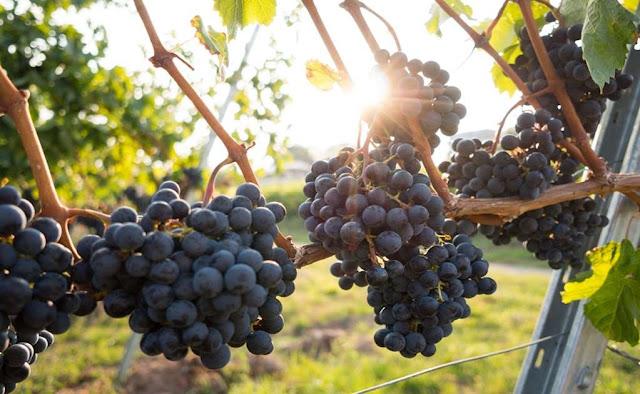 Así se elaboran los vinos naturales
