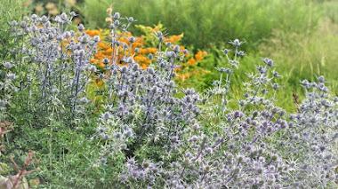 Eryngium: estrellas en el jardín que adoran las abejas
