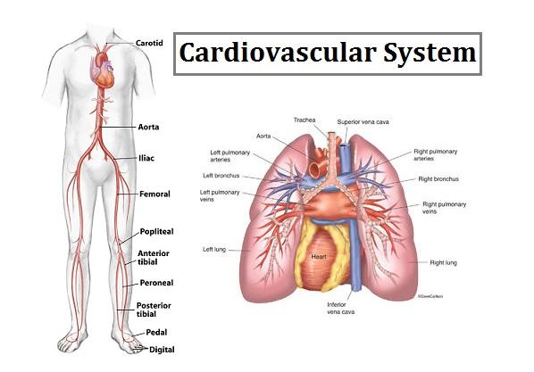 Anatomy of the Cardiovascular System