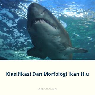 Klasifikasi Ikan Hiu Dan Morfologi Ikan Hiu (Carcharias menissorah)