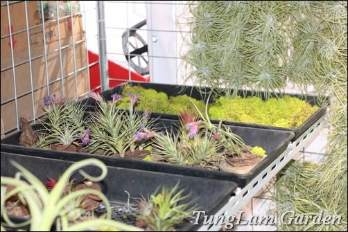 bán cây không khí, cay khong khi, air plant, hoa treo, cây nội thất