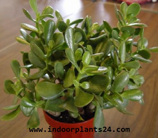 Crassulaceae Chinese Jade Plant potted image