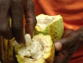 Cacao field cocoa tree farmer in Ghana