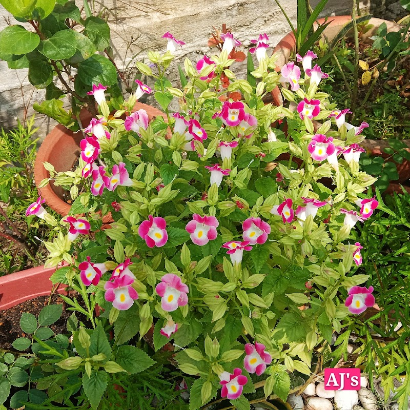 Bunga tapak kucing Kak Long membiak dengan jayanya